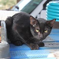 Domestic Shorthair Kitten for adoption in Morriston, Florida - Blackout