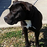 Adopt A Pet :: BEAU - Denton, TX