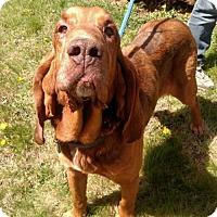 Bloodhound Dog for adoption in Simcoe, Ontario - Radar