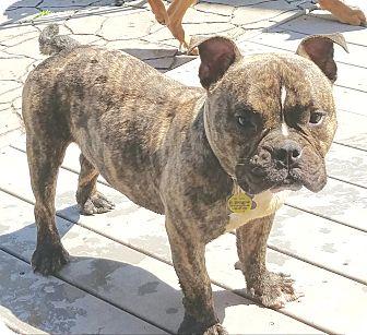French Bulldog/English Bulldog Mix Dog for adoption in Linden, New Jersey - Poppi