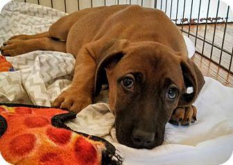Redbone Coonhound/Labrador Retriever Mix Puppy for adoption in Chicago, Illinois - Carl*ADOPTED!*