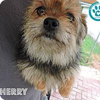 Adopt A Pet :: Cherry - Kimberton, PA