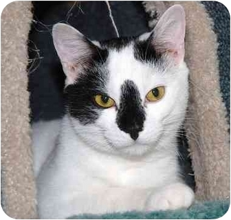 Domestic Shorthair Cat for adoption in Markham, Ontario - Speck