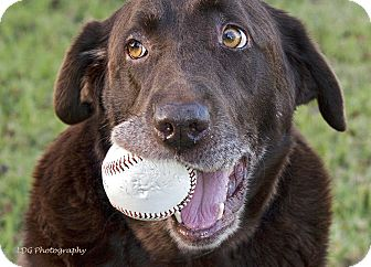 Labrador Retriever Mix Dog for adoption in Huntsville, Alabama - Victoria