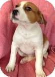 Labrador Retriever Mix Puppy for adoption in Manchester, Connecticut - Fiona
