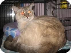 Siamese Cat for adoption in Shelton, Washington - Angela