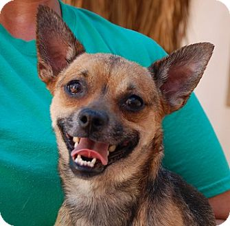 Chihuahua Mix Dog for adoption in Las Vegas, Nevada - Racer