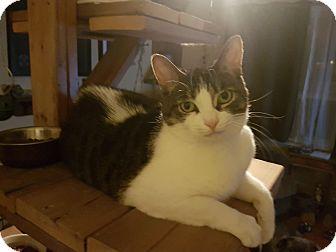 Domestic Shorthair Cat for adoption in Hamilton, Ontario - Maisie