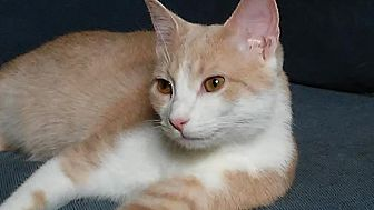 Domestic Shorthair Cat for adoption in Columbus, Ohio - Pinkie