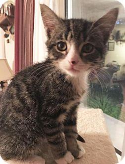 Domestic Shorthair Cat for adoption in Harrisonburg, Virginia - Climby