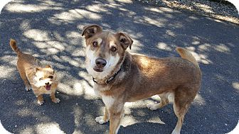 Shepherd (Unknown Type) Mix Dog for adoption in Roslyn, Washington - Rusty
