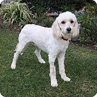Adopt A Pet :: DARBY - Newport Beach, CA