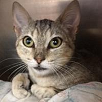 Adopt A Pet :: Foxy Lady - oakland park, FL