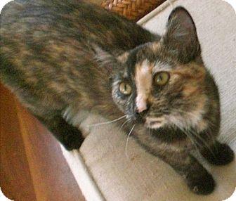 Domestic Shorthair Kitten for adoption in Fairborn, Ohio - Sunshine-Springfield Litter