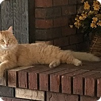 Domestic Longhair Cat for adoption in St. Louis, Missouri - Gallifrey