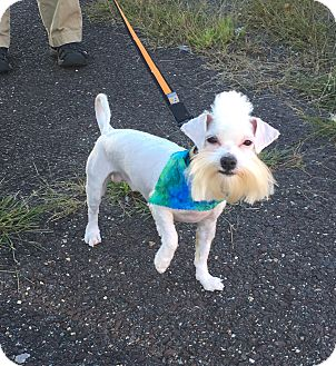 Maltese Puppy for adoption in Fredericksburg, Virginia - Chico