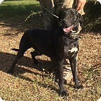 Labrador Retriever/Hound (Unknown Type) Mix Dog for adoption in Slidell, Louisiana - Merrill