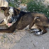 Cattle Dog/Border Collie Mix Dog for adoption in San Antonio, Texas - Droopy