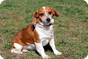 Corgi Mix Dog for adoption in Andover, Connecticut - HUNTER