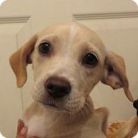 Adopt A Pet :: Allie! ADORABLE Puppy - St Petersburg, FL
