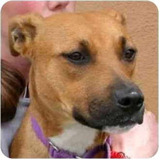 American Pit Bull Terrier Mix Dog for adoption in Berkeley, California - Irma