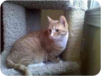 Domestic Shorthair Cat for adoption in Greenville, South Carolina - Toby
