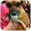 Photo 2 - Dachshund/Chihuahua Mix Dog for adoption in Oceanside, California - Pretty Girl