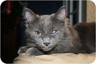Domestic Mediumhair Cat for adoption in Napa, California - Gibby