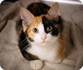 Calico Kitten for adoption in lake elsinore, California - Fern