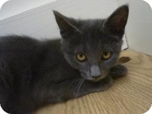 Domestic Mediumhair Kitten for adoption in Milwaukee, Wisconsin - Braiden