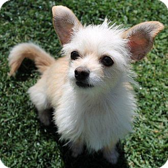 Cairn Terrier/Pomeranian Mix Dog for adoption in La Habra Heights, California - Sweet Wendy