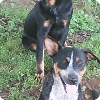 Australian Cattle Dog/Blue Heeler Mix Dog for adoption in Pikeville, Tennessee - Mask