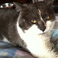 Domestic Shorthair Cat for adoption in New City, New York - Beau
