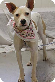 Ibizan Hound/Whippet Mix Dog for adoption in Lebanon, Connecticut - Sissy