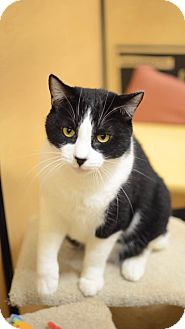 Domestic Shorthair Cat for adoption in Upland, California - Clinton