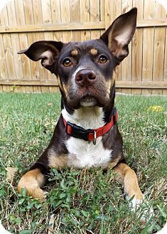 Doberman Pinscher/Labrador Retriever Mix Dog for adoption in Nashville, Tennessee - Gia
