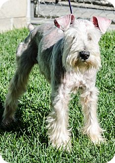 Miniature Schnauzer Dog for adoption in Renton, Washington - Denny