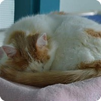 Domestic Mediumhair Cat for adoption in Freeport, Illinois - Goober
