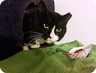 Domestic Shorthair Cat for adoption in Putnam, Connecticut - Santa