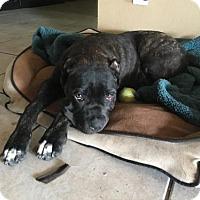 Adopt A Pet :: Lulu - Goodyear, AZ