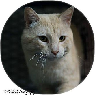 Domestic Shorthair Cat for adoption in Mount Sterling, Kentucky - Mikey