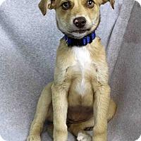 Adopt A Pet :: Lafawndah - Westminster, CO