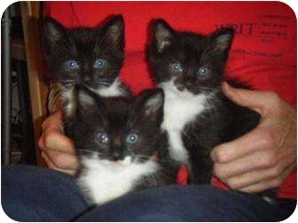 Domestic Shorthair Kitten for adoption in Kensington, Maryland - Tex, Rex and Boots