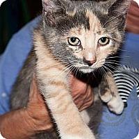 Adopt A Pet :: Grey - New Egypt, NJ