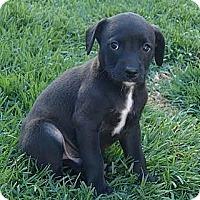 Adopt A Pet :: Koby - La Habra Heights, CA