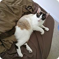 Adopt A Pet :: Antu-Lap Loving Siamese! - Arlington, VA