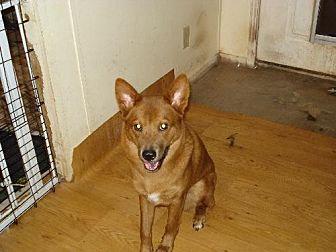 Rhodesian Ridgeback/Chow Chow Mix Dog for adoption in Tonopah, Arizona - sedona