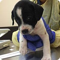 Adopt A Pet :: Laia (Star Wars Pup) - Cumming, GA