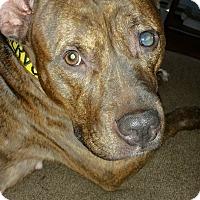 Adopt A Pet :: Nala - Acushnet, MA