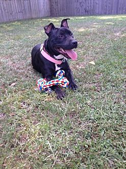 Pit Bull Terrier Mix Dog for adoption in Baton Rouge, Louisiana - Sandra Dee